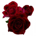 L1 RED ROSE