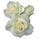 l2 WHITE ROSE