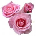 l3 PINK ROSE