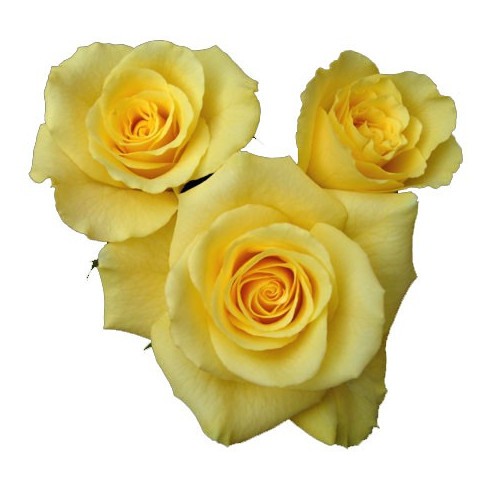 L4 YELLOW ROSE