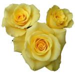 L4 YELLOW ROSE