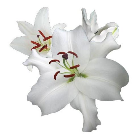 L5 WHITE LILY