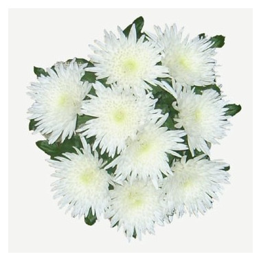 L7 WHITE CHRYSANTHEMUM