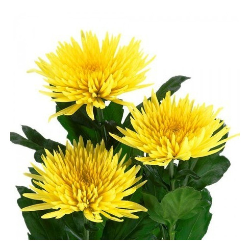 L8 YELLOW CHRYSANTHEMUM